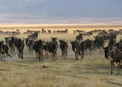 Herd of Wildebeest in the Serengeti